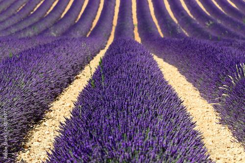 Lavendelfeld (Lavandula angustifolia), Valensole, Département Alpes-de-Haute-Provence, Provence-Alpes-Côte d'Azur, Frankreich, Europa