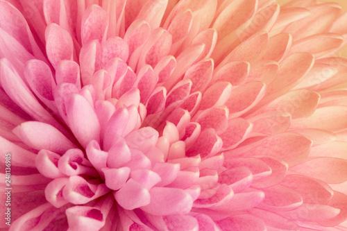 Chrysanthemum - 248136985