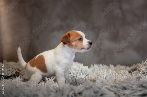 fototapeta na ścianę Jack Russell Terrier puppy with spots on the face, sitting on a terry carpet with a white nap on a gray background