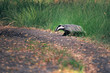 Badger crosses the forest trail.