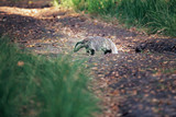 Badger crosses the forest trail. - 248141325