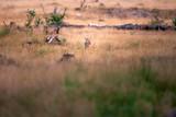 Mouflon between tall yellow grass in evening sunlight. - 248141329