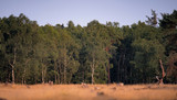 Field with birch tree forest in evening sunlight. - 248141335