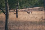 Three mouflons standing together in grass near trees. - 248141339