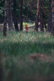 Roe jumping between tall grass into forest. - 248141342