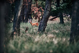 Roe deer buck standing in tall grass in forest. - 248141349
