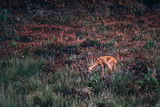 Foraging roe goat between grass and vegetation. - 248141355