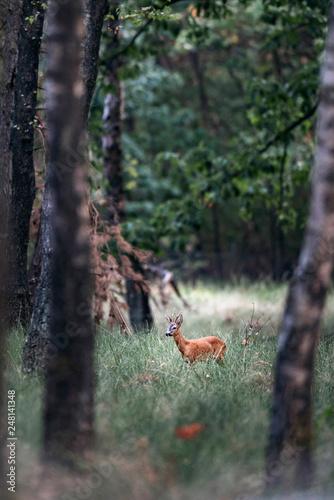 Leinwandbild Motiv Roe deer buck standing in tall grass in forest.