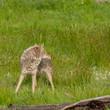 Coyote Looks Over Shoulder
