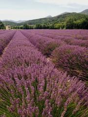 paysage de culture de lavandes provençale en france