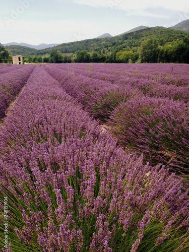 paysage de culture de lavandes provençale en france - 248159104