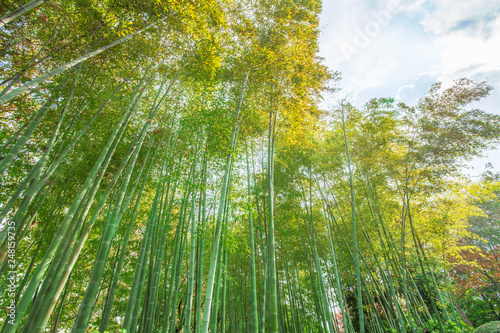 bamboo forest on bright day