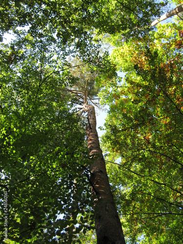 Birke im Wald in der Sonne