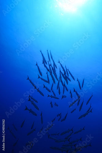 Barracuda school of fish at the Red Sea, Egypt