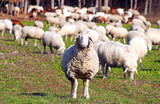 flock of sheep grazing, one sheep looking to camera - 248166189