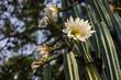 Quadro San Pedro cactus
