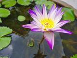 Purple lotus petals, yellow stamens in thePurple lotus petals, yellow stamens in the lotus pond during the day. lotus pond during the day.