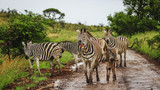 belustigtes Zebra