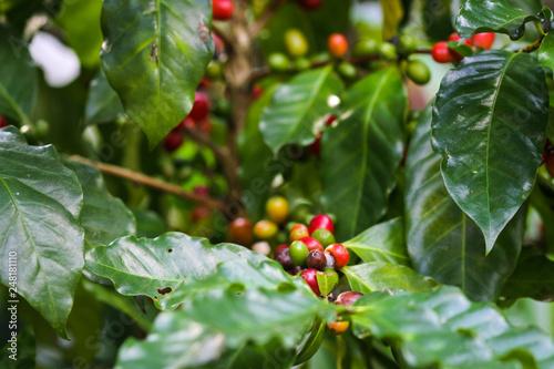 Foto Murales Close up fresh organic red coffee on coffee tree, raw coffee beans on coffee tree plantation