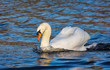 Mute swan is swimming in the pond in the public park. London. United Kingdom. Close up. Main focus on the bird