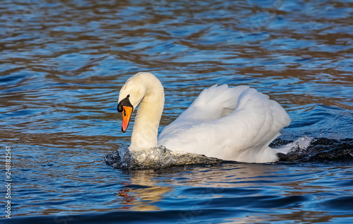fototapeta na ścianę Mute swan is swimming in the pond in the public park. London. United Kingdom. Close up. Main focus on the bird