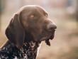 portrait of a dog, German pointer at garden