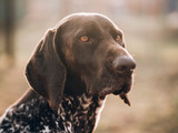 German pointer dog portrait