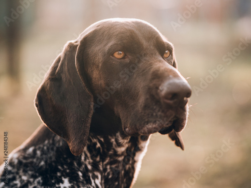 fototapeta na ścianę German pointer dog portrait