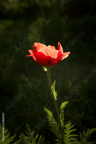close up view of nice red poppy on foliage  background - 248184511