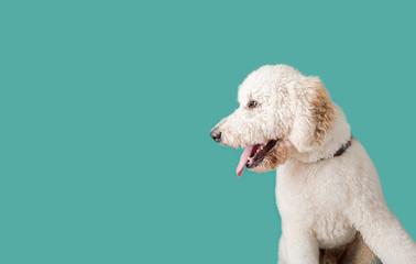 Golden Doodle Dog on Isolated Colored Background © MeganBetteridge