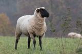 sheep - 248186935