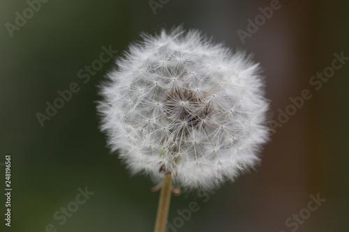 dandelion - 248196561
