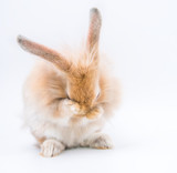 Red bunny rabbit portrait looking front wise on white background, Cute Red bunny isolated for easter concept.
