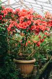 big bush blooming azaleas in pot in greenhouse