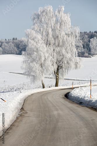 Birke mit Raureif an einer Landstraße in Oberbayern - 248212999