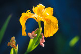 Yellow Iris flower macro photo