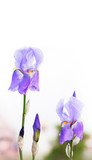 Purple Iris flowers on white background