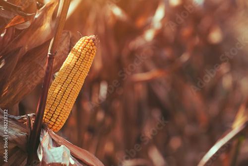 Foto Murales Corn field