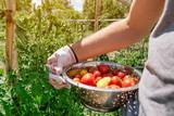 Organic tomato harvest - 248229903