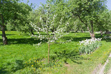 Young blooming apple tree on the background of the old apple orchard.
