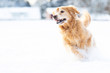 Happy golden retriever dog running and playing in the snow during winter