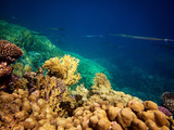 Underwater photo of cornetfish with coral reefs in red sea