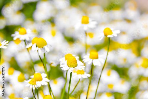 Foto Murales Pharmacy chamomile is medicinal plant, field with white flowers