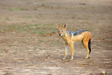 The black-backed jackal (Canis mesomelas) in beautiful evening light during sunset in desert