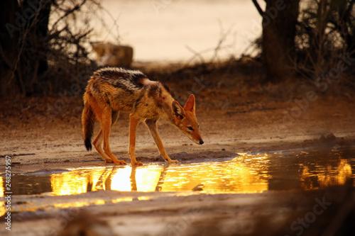 The black-backed jackal (Canis mesomelas) in beautiful evening light during sunset in desert. Jackal drinking against the sun.