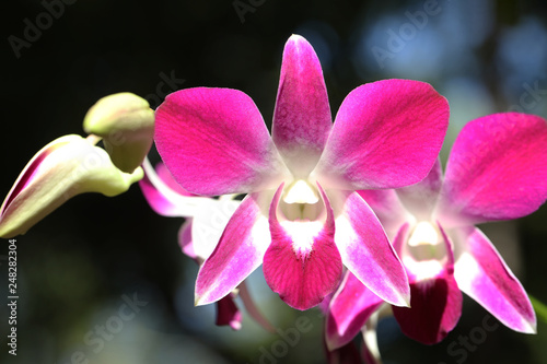 Pink orchid in the gaden - 248282304