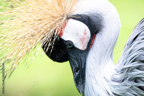 isolated grey crowned crane © lues01
