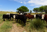 Cows fed on natural grass, La Pampa, Argentina