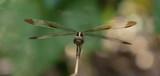 Libelle - 248304936