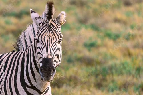 Chewing zebra portrait with blured background in National Park in South Africa - 248309540